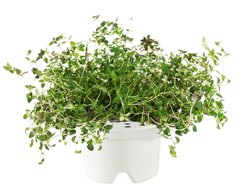 Thyme Refill for Smart flowerbed