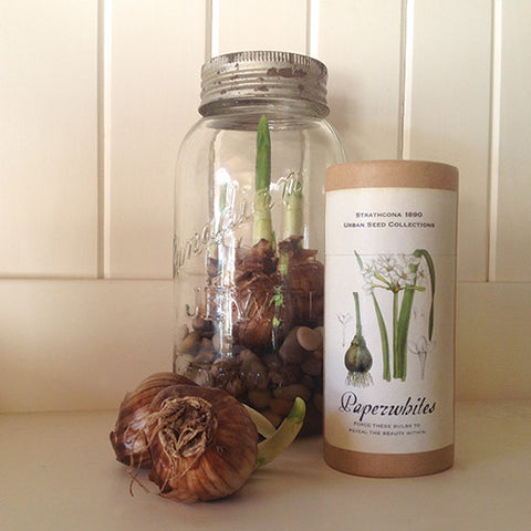 Paperwhites - Sold out till next fall