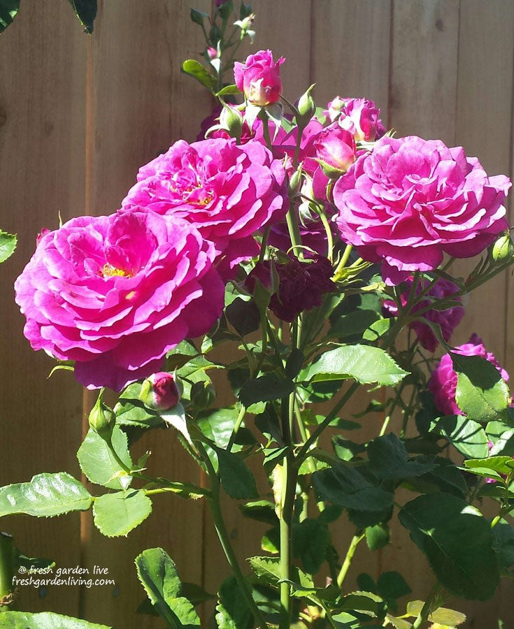 Own Root Rose Plant vs Grafted Rose Bush