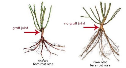 grafted rose vs own root rose
