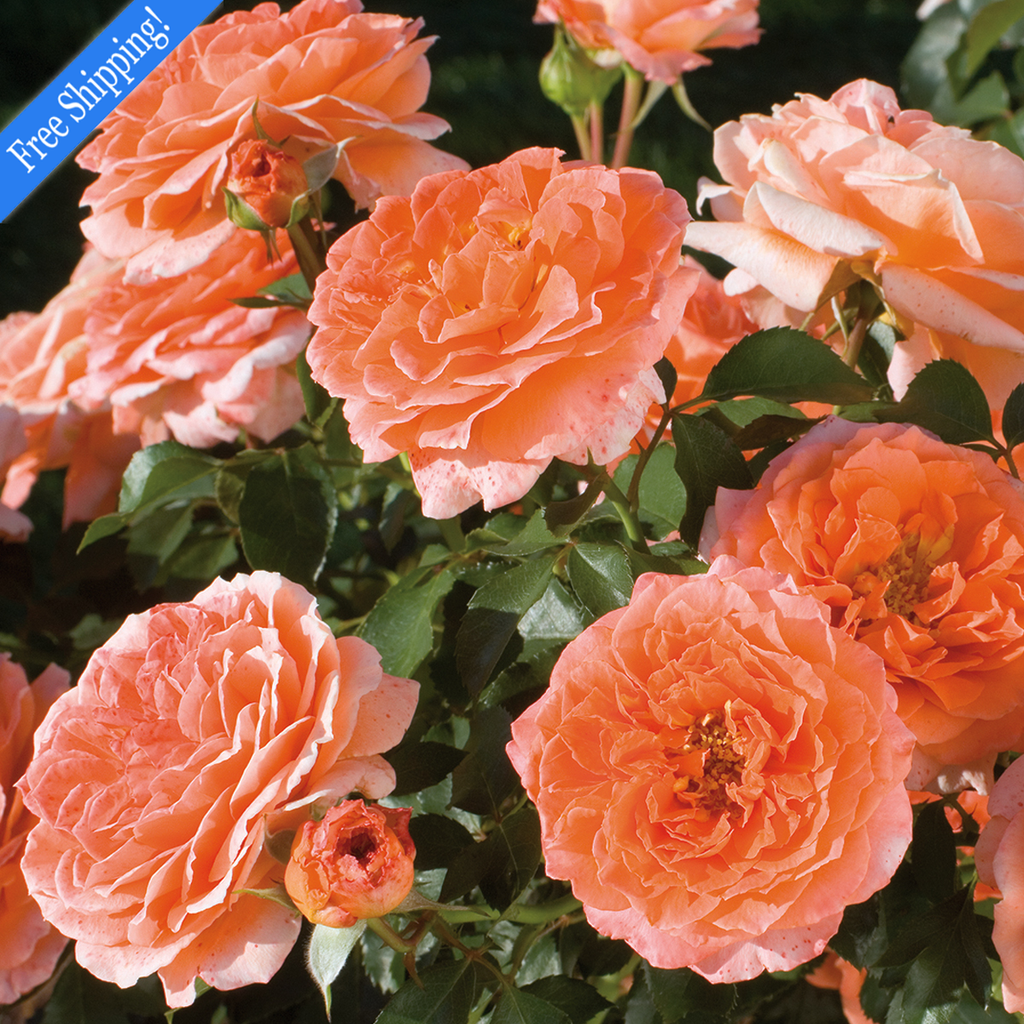 Adobe Sunrise ™ Rose