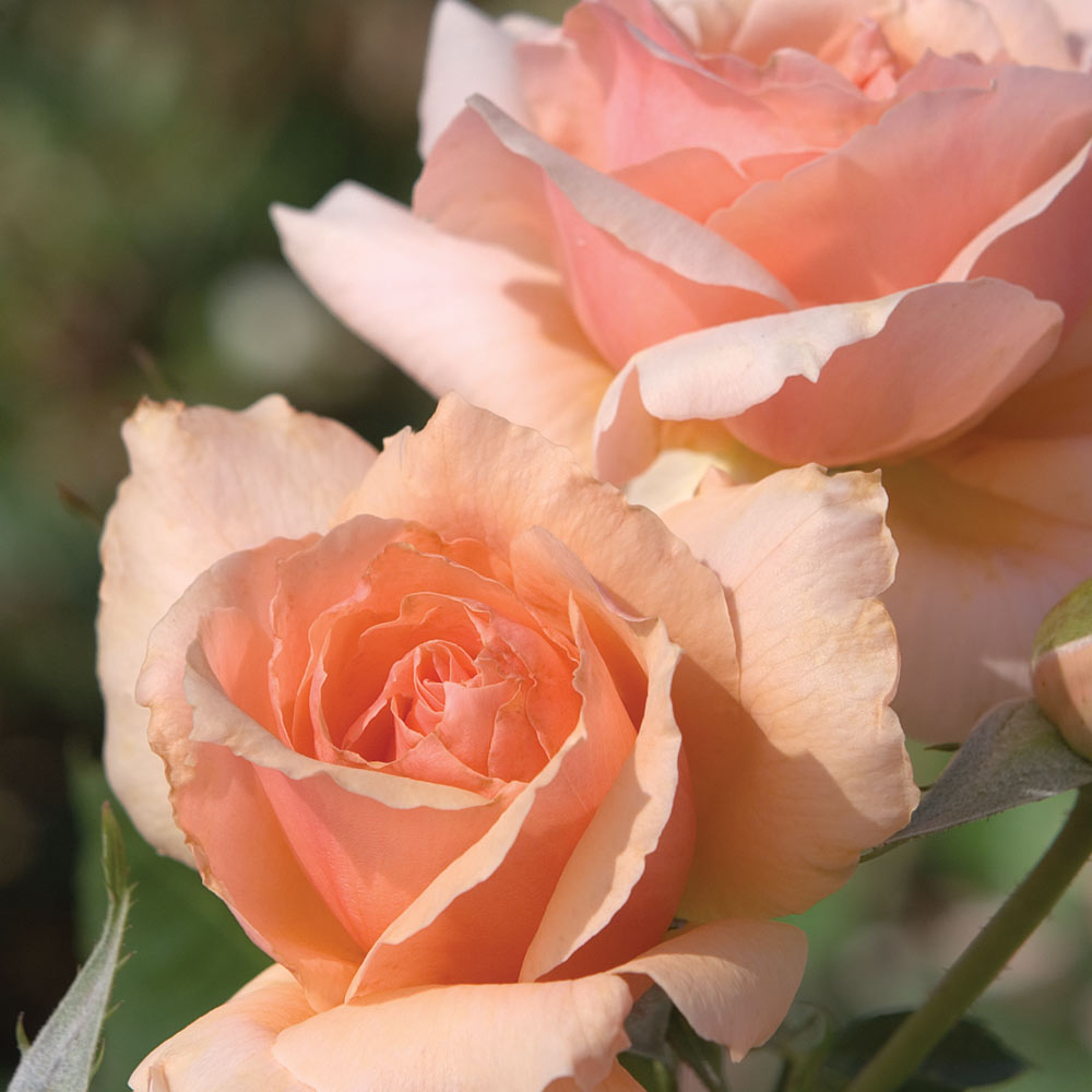 Apricot Candy Rose