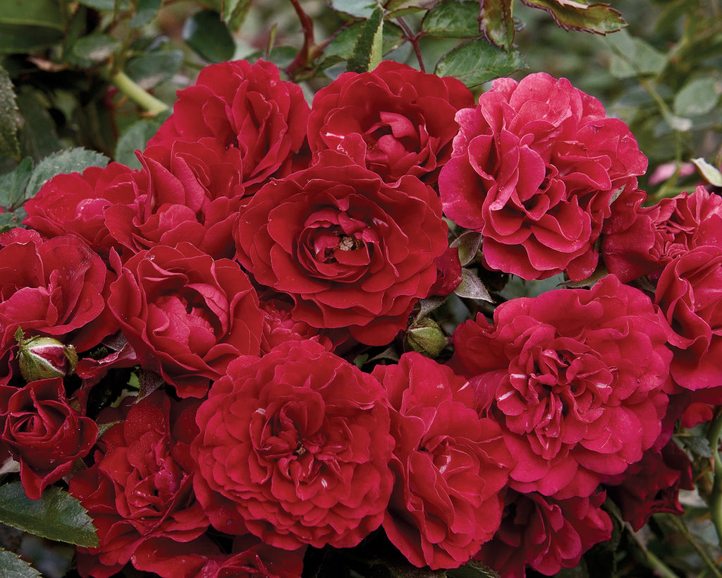 Fire Meidiland Rose