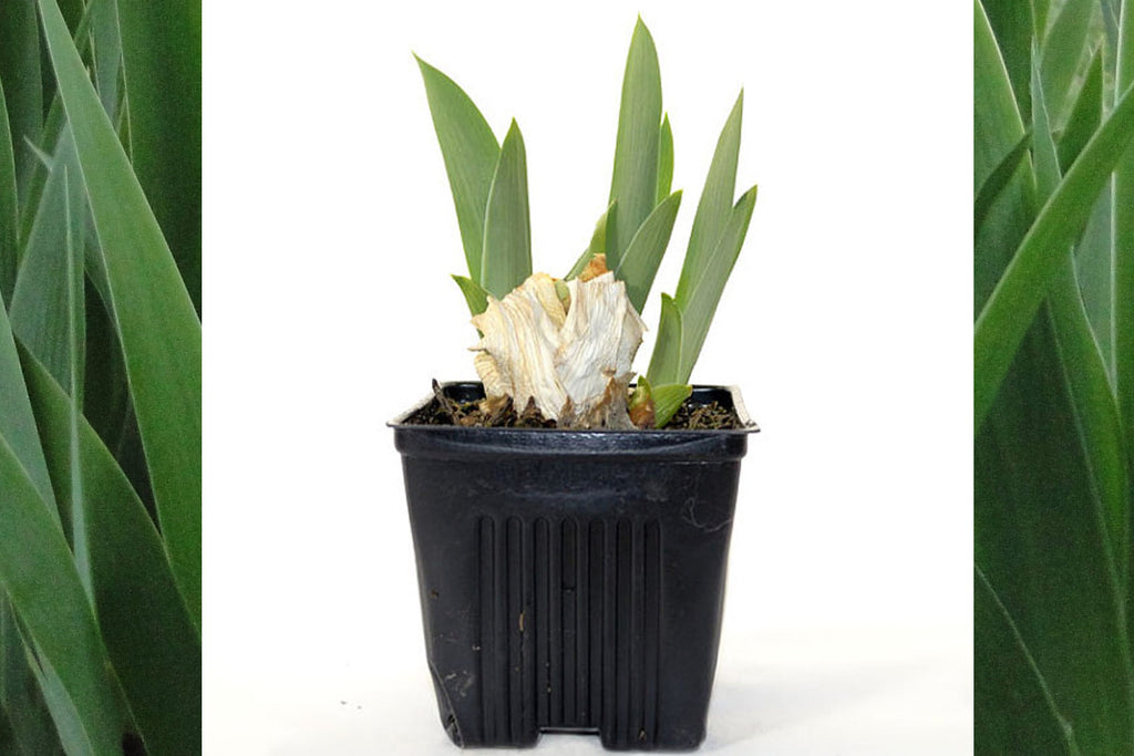 Concertina Iris Potted Plant