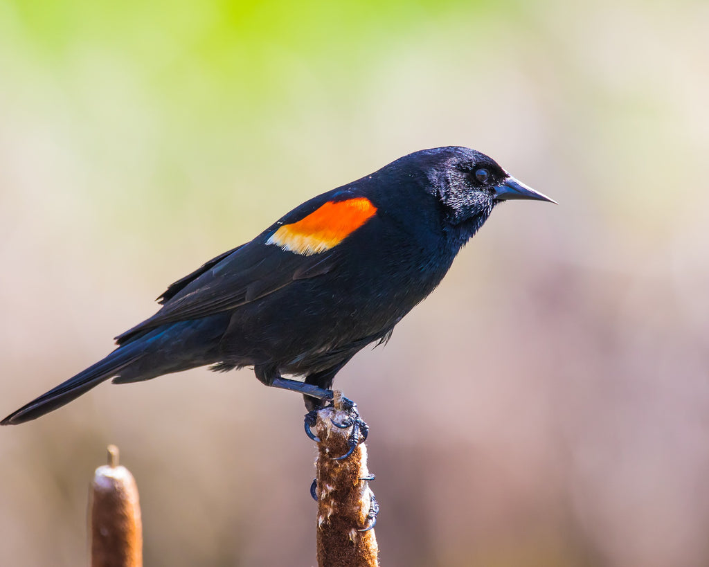 Bird Feature: Red-winged Blackbird