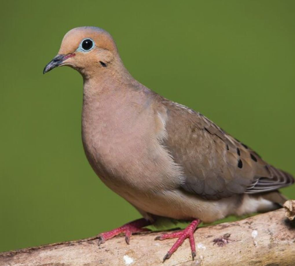 Bird Feature: Mourning Dove