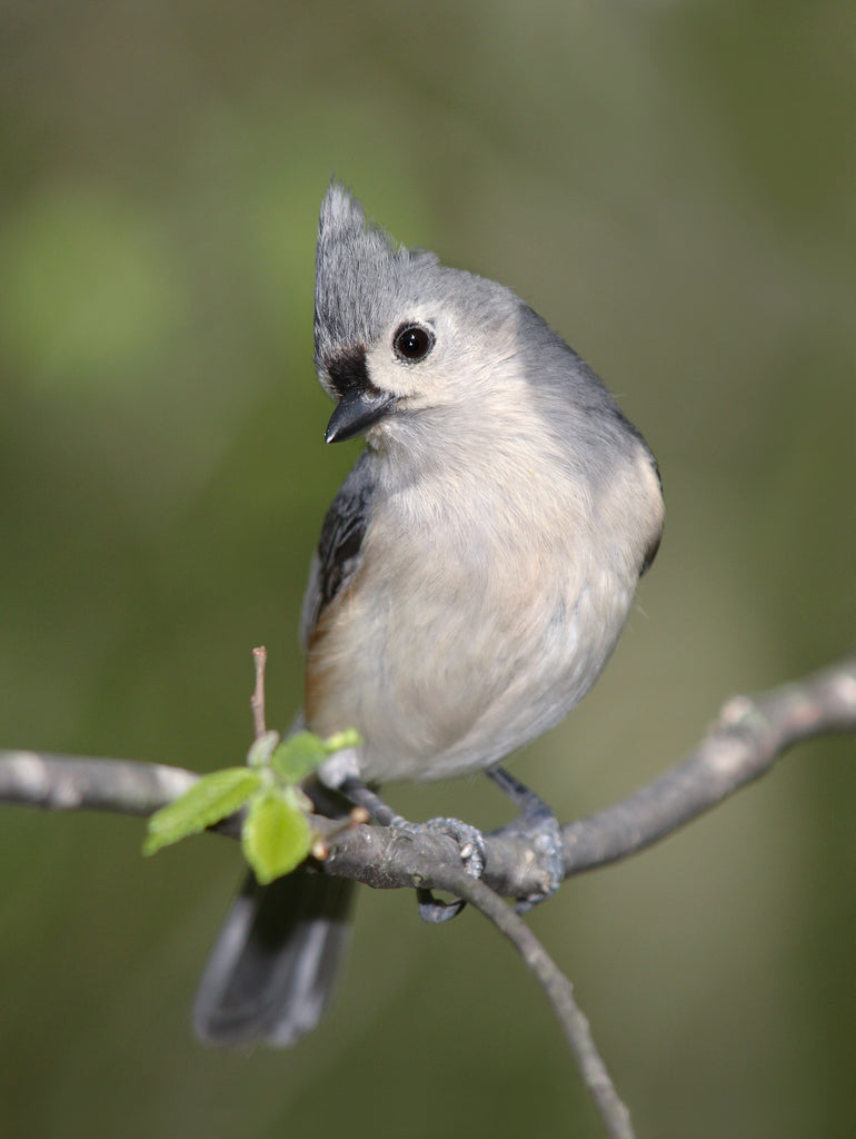 Bird Feature: Tufted Titmouse