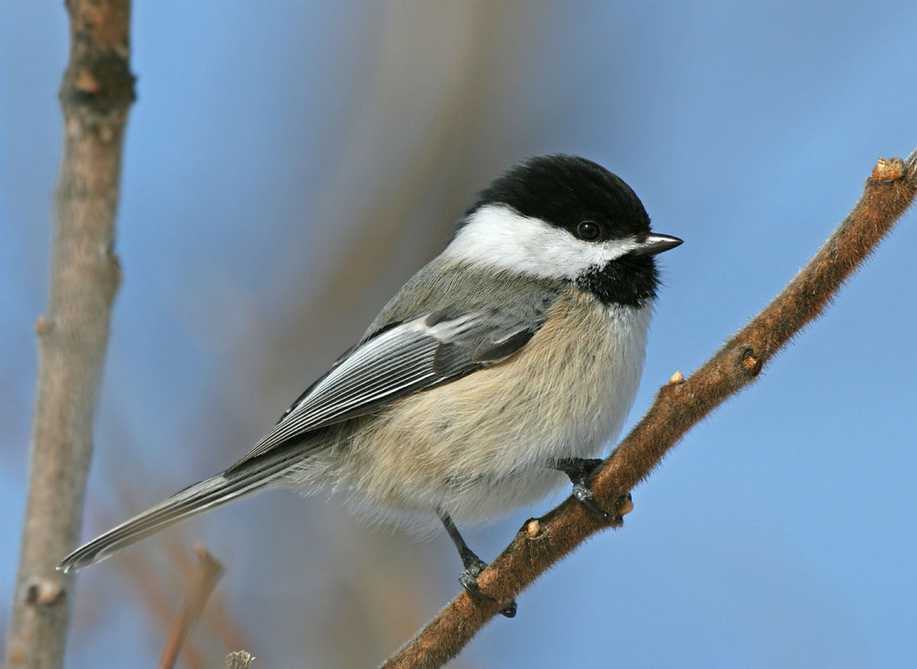 Bird Feature: Black-capped Chickadee