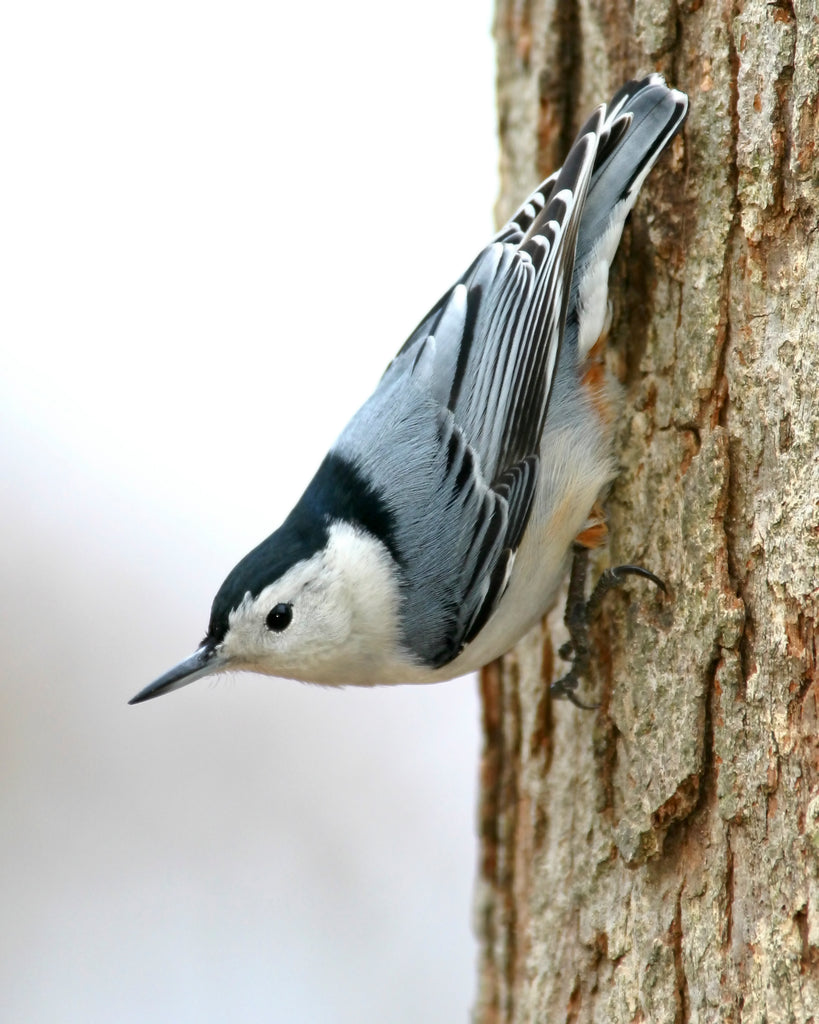 Bird Feature: White-breasted Nuthatch
