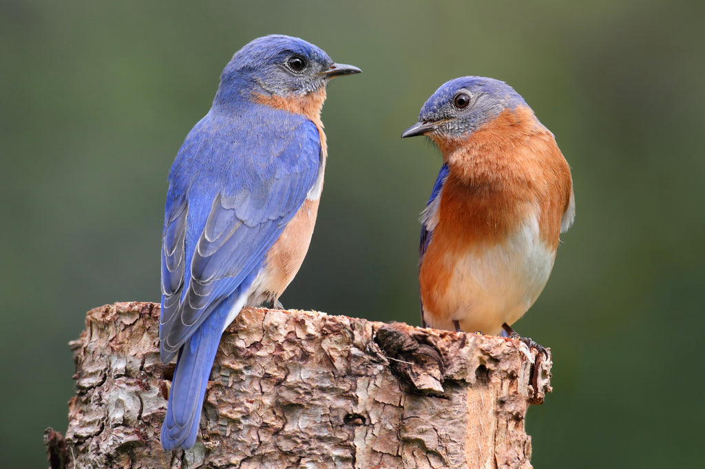 Bird Feature: Eastern Bluebird