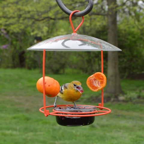 Female Baltimore Oriole eating grape jelly