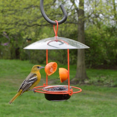 Female Baltimore Oriole on jelly feeder