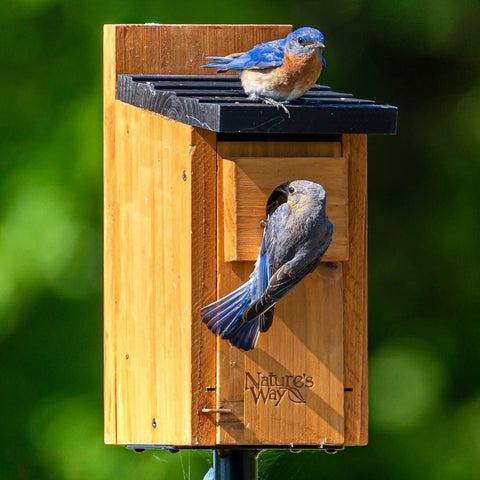 two bluebirds using the Nature's Way Bluebird Box House