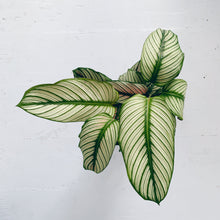 Load image into Gallery viewer, Calathea majestica whites
