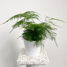 Load image into Gallery viewer, Asparagus Fern - Asparagus setaceus`