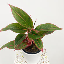 Load image into Gallery viewer, Aglaonema Crete - Pink Chinese Evergreen