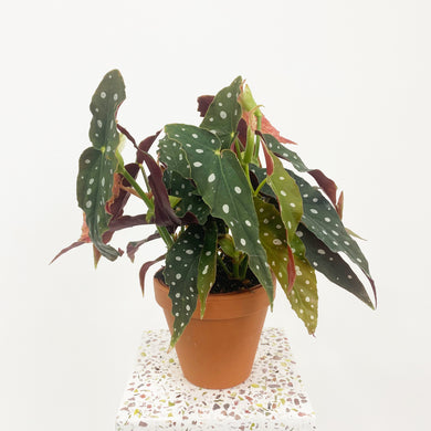Begonia maculata - Polka Dot Begonia in terracotta pot