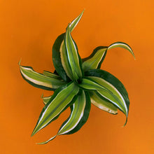 Load image into Gallery viewer, Dracaena Fragrans - Malaika