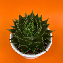 Load image into Gallery viewer, Aloe Cosmo