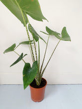 Load image into Gallery viewer, Alocasia zebrina
