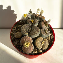 Load image into Gallery viewer, Lithops Fiorito