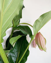 Load image into Gallery viewer, Medinilla Magnifica