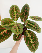 Load image into Gallery viewer, Maranta fascinator - Prayer Plant