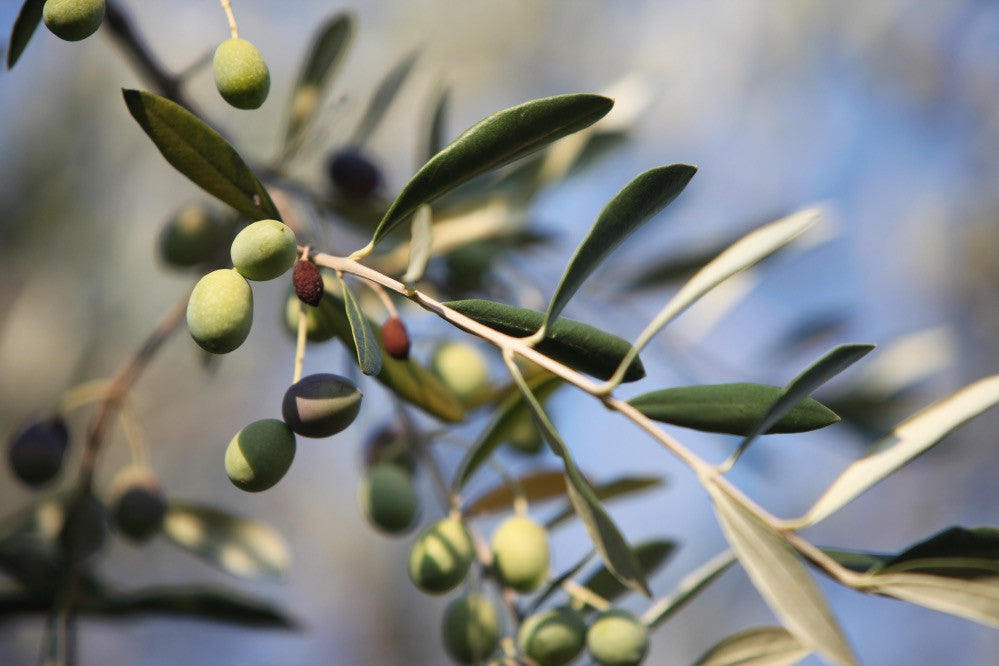 Ingredient Spotlight: Olive Oil Benefits in Skin Care