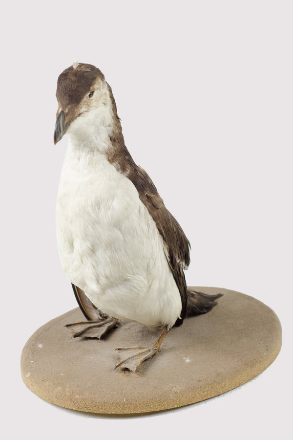 Antique Taxidermy Penguin