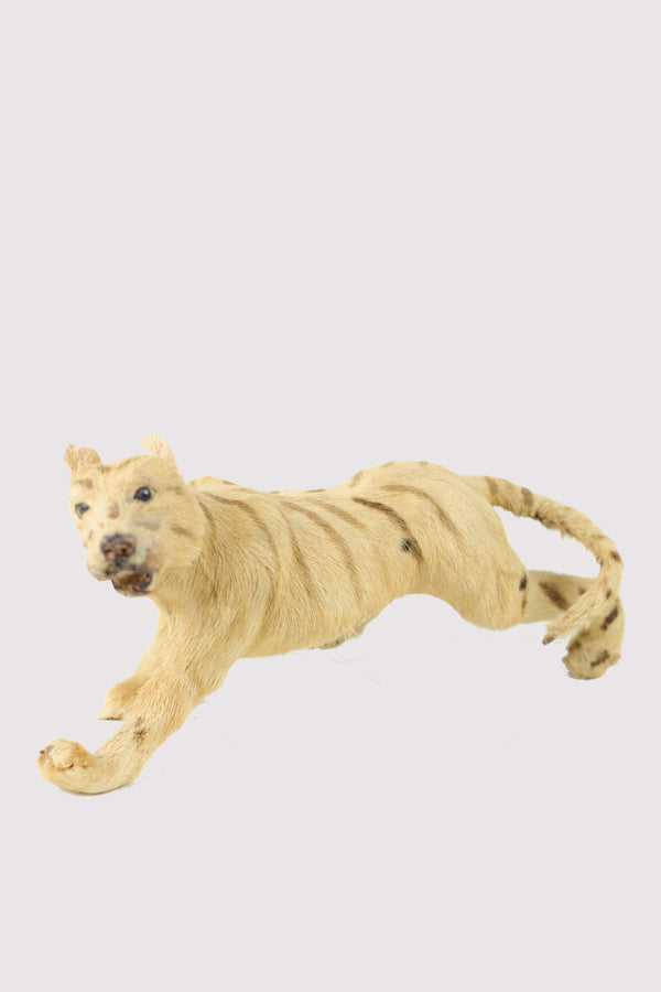 Mini Tiger Taxidermy