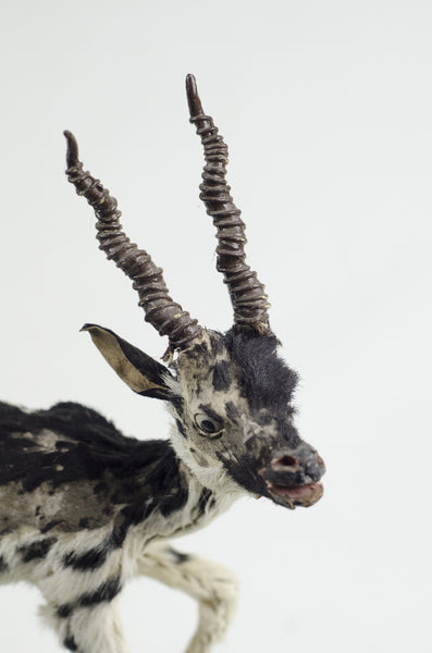 Miniature Taxidermy Antelope JR