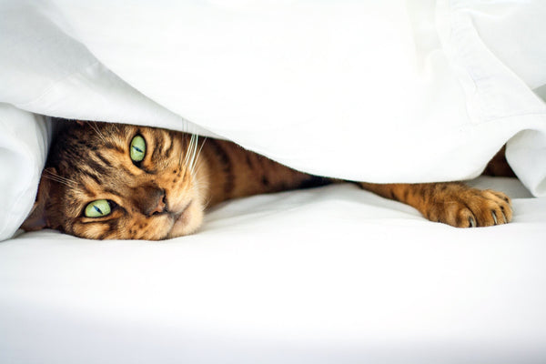 Why people love Bengal Cats?