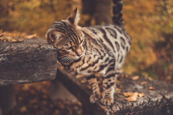 Are you looking for a Bengal kitten? Here is how to avoid getting scammed.