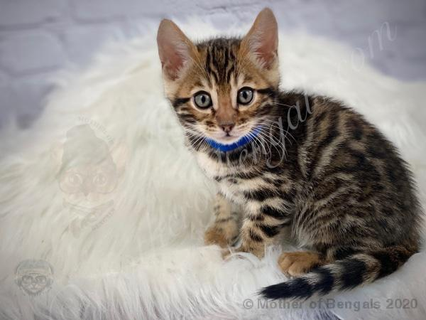 Drama Blue Boy Bengal Kitten 💙 Mother of Bengals