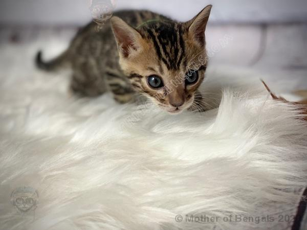 💚 Kargar Green Boy Bengal Kitten June 2020 Kitten motherofbengals
