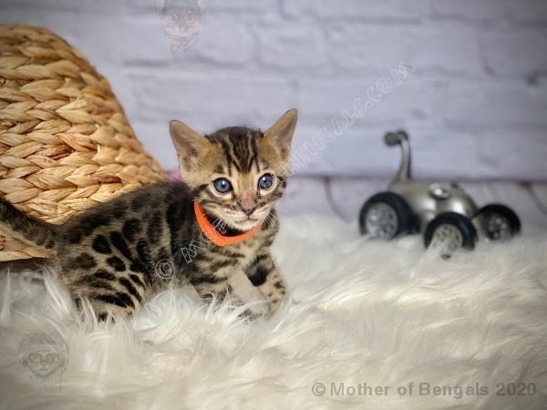 🧡 Kargar Orange Boy Bengal Kitten June 2020 Kitten motherofbengals