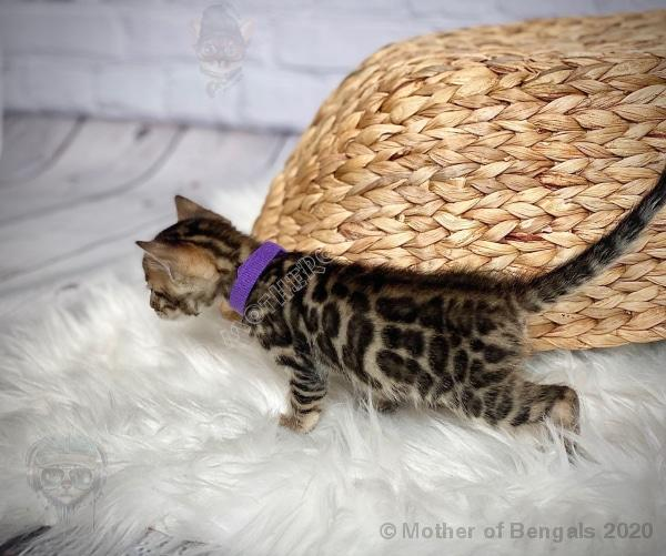 💜 Kargar Purple Girl Bengal Kitten June 2020 Kitten motherofbengals