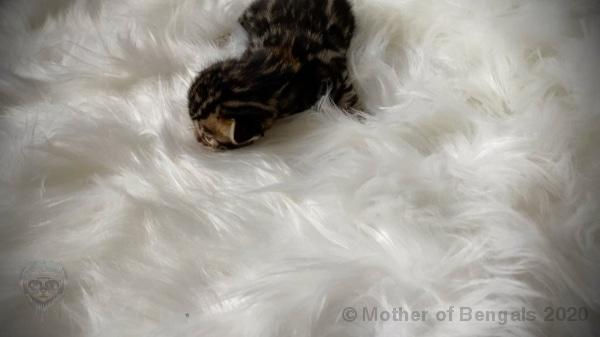 Rhaeya Bengal Kitten April 2020 Kitten motherofbengals