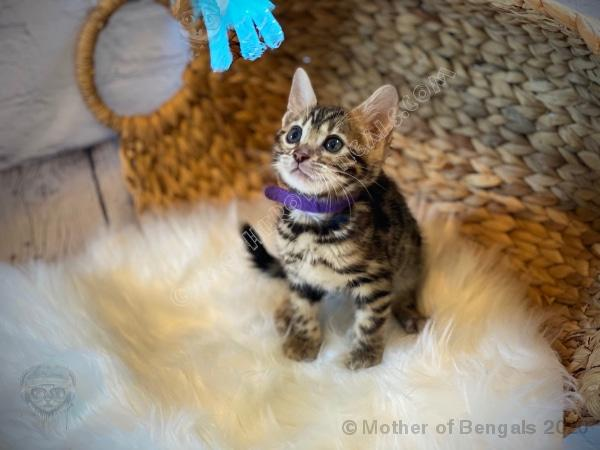 Rheaya April 2020 Purple Girl Bengal Kitten 💜 Kitten Mother of Bengals
