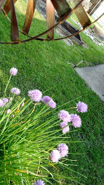 Gourmet Herb Vinegar Chive Blossom, home grown chives, made fresh