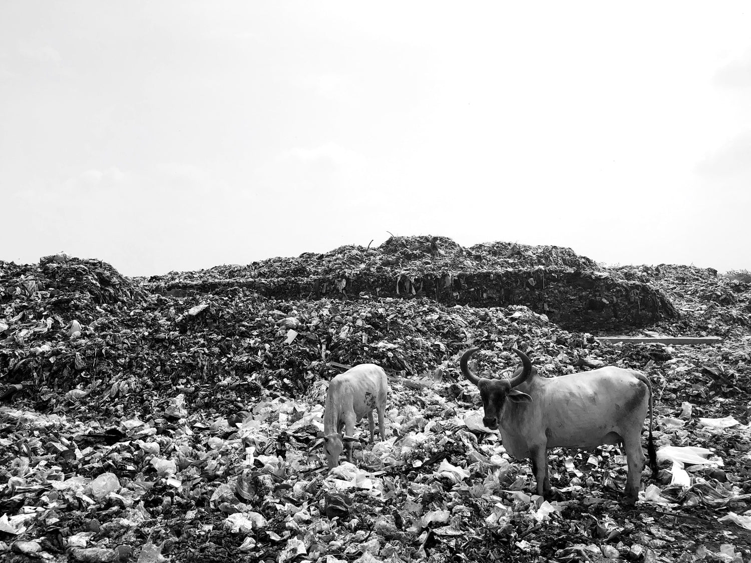 Landfill with mountains of waste and livestock scavenging for food scraps