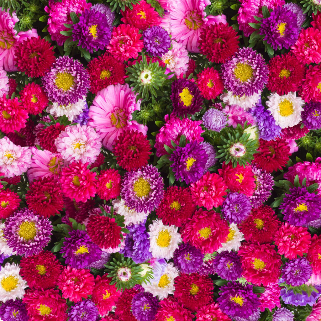 Aster Mixed Flower Seeds