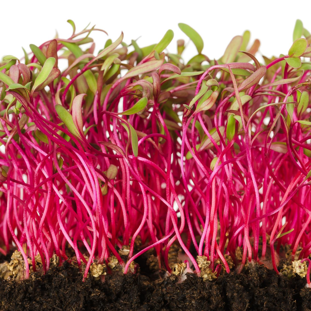 Beetroot Microgreens Seeds