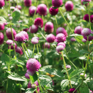 Gomphrena Mixed Flower Seeds