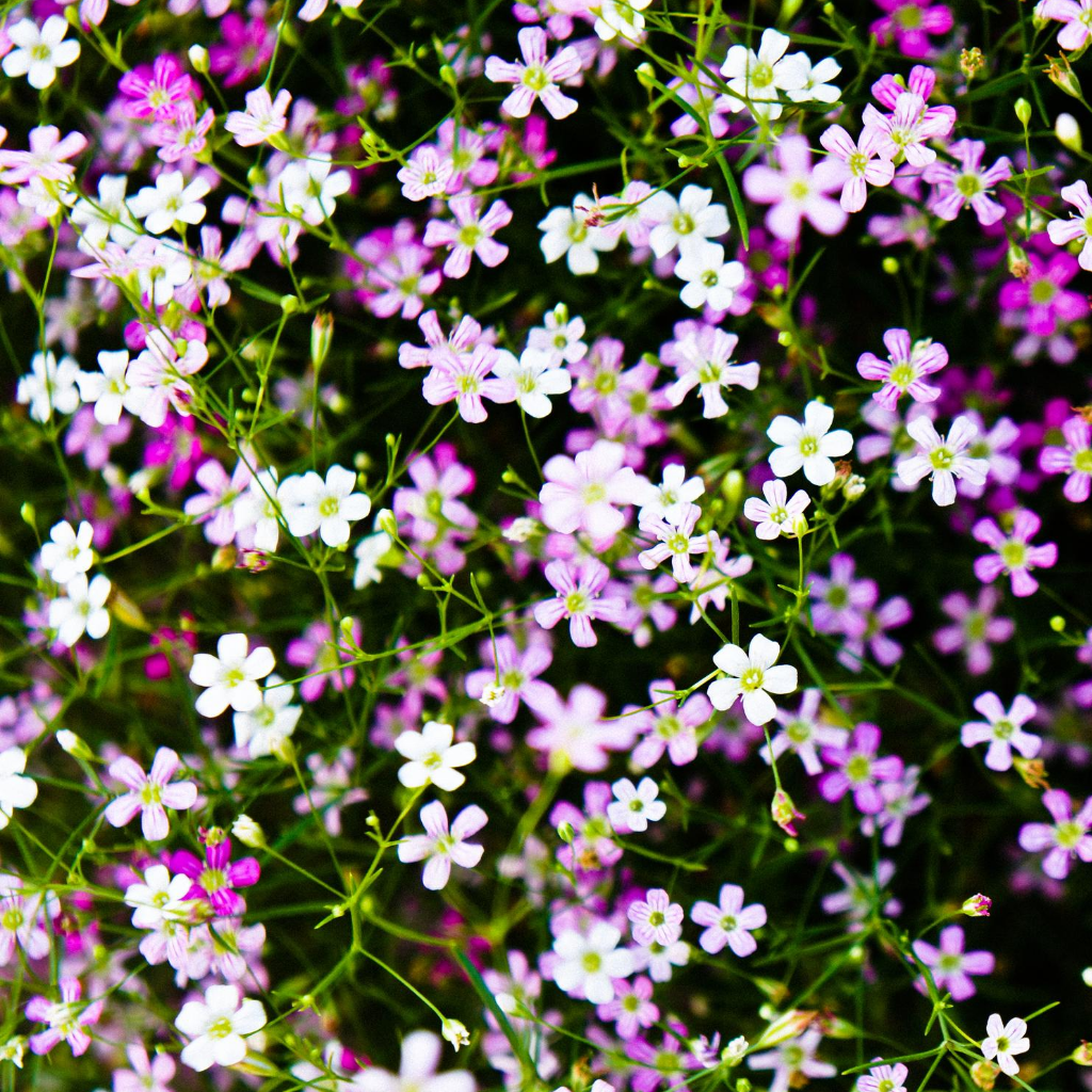 Gypsophila Mixed Flower Seeds