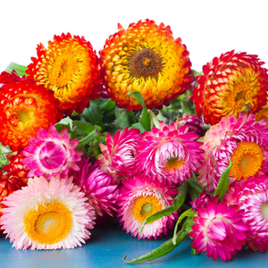 Helichrysum Mixed Flower Seeds