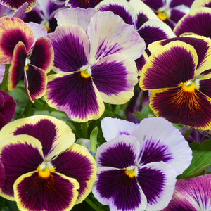 Pansy Mixed Flower Seeds