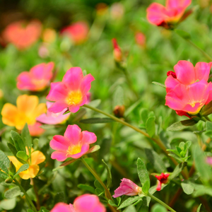 Portulaca Mixed Flower Seeds