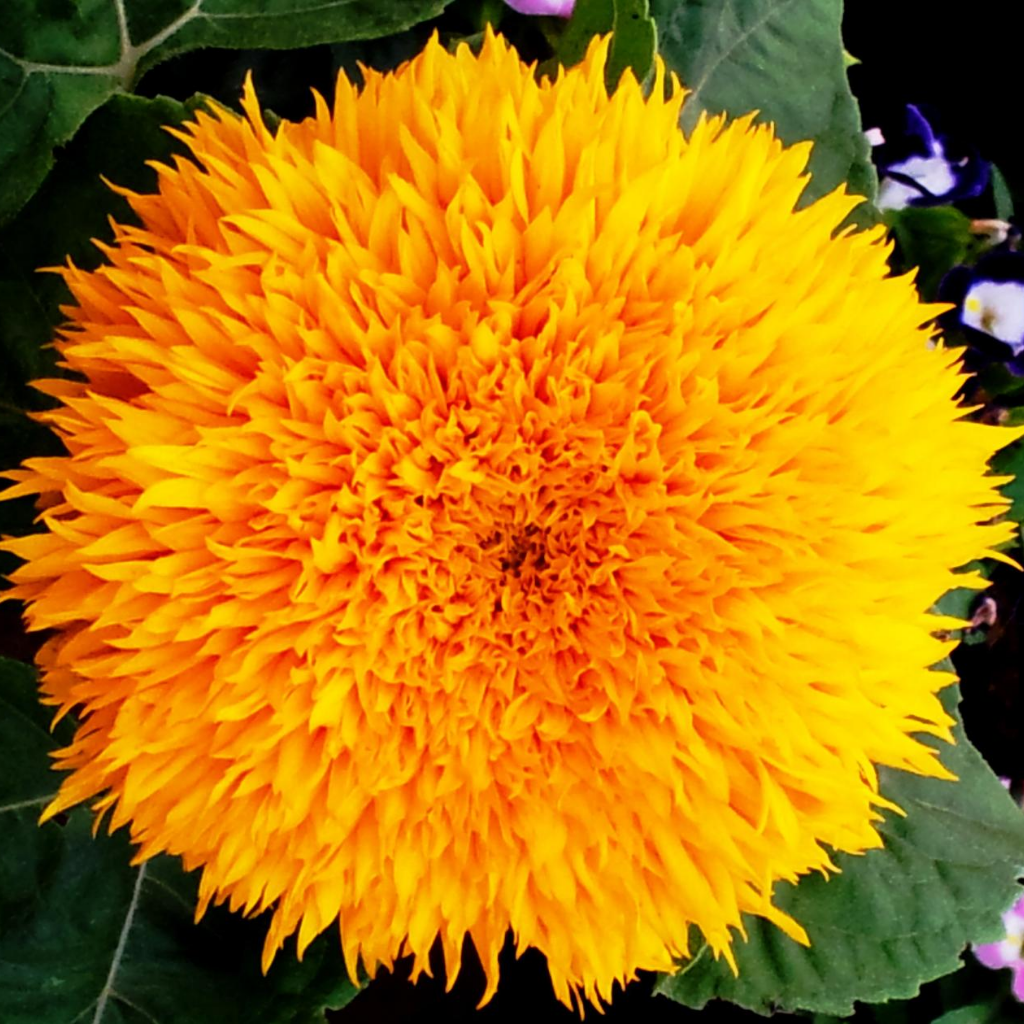 Sunflower Sungold Flower Seeds