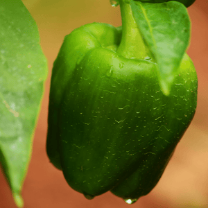 Capsicum Green Seeds